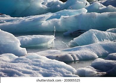 Artic Terns flying over melting glacier ice at Jokulsarlon lake caused by global warming