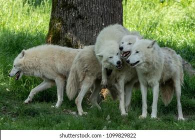 Artic Wolf Animal