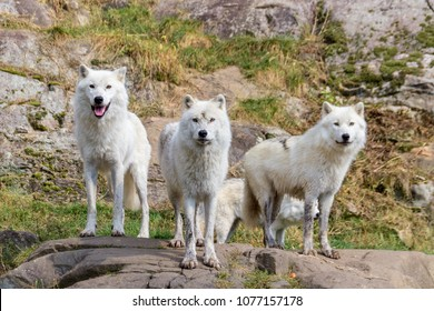 Artic Wolfs in Parc Omega (Canada