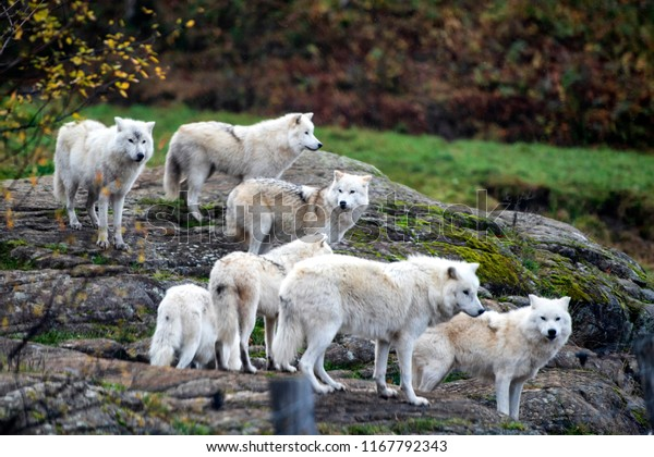"Artic Wolfs in  in Safari Park ""Omega"" in the vicinity of Montreal, Canada. 01-11-2017"