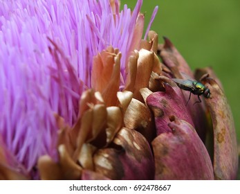 Artichoke flower blooming and fly. Brittany, France.