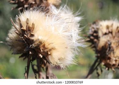 artichoke flower blown in summer sun at a garden in Capelle aan den Ijssel in Park Hitland