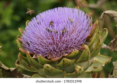 Artichoke flower and honey bees
