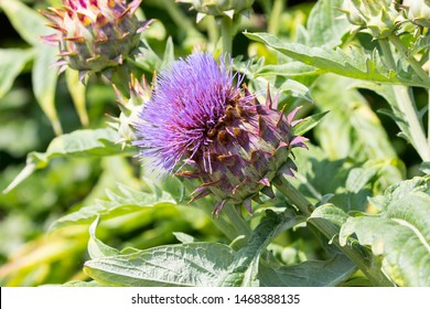 Artichoke Thistle (Cynara cardunculus) also known as a Cardoon