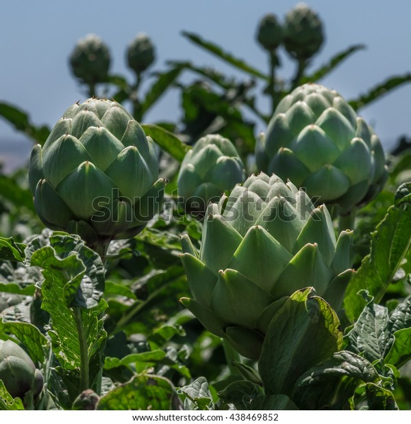 Artichokes plants grow tall in the artichoke fields of Castroville, in the Salinas Valley of central California in Monterey County, the self-proclaimed artichoke produce capitol of the world.