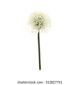 Artificial Allium flower isolated on white background
