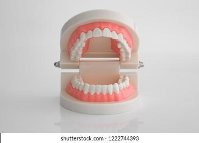 Artificial dental model on white background
