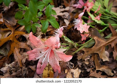 Artificial flowers found among the autumn leaves in a Glenwood Illinois forest preserve.