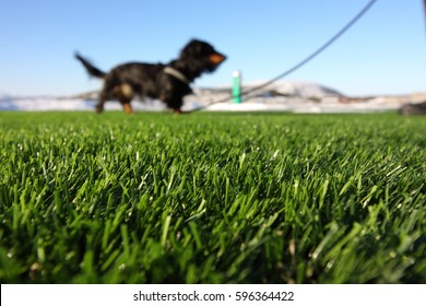 Artificial grass on a foreground and a walking black dachshund dog on a blur background