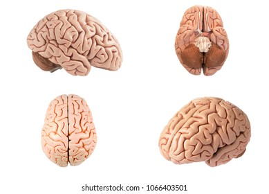 Artificial human brain model in four different view including top, side, bottom and oblique view isolated on white background