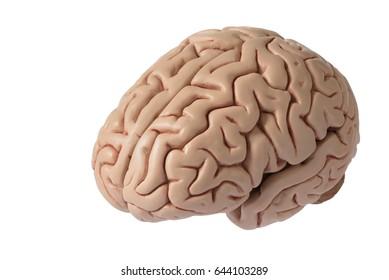 Artificial human brain model, oblique view