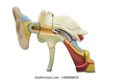 Artificial human ear model.  Ear model for science classes