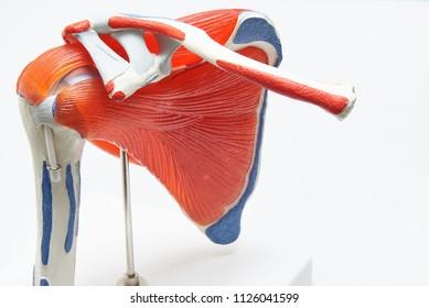 Artificial human shoulder model in medical office