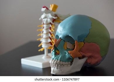 Artificial human skull and cervical spine model on the table in medical office