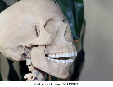 Artificial human skull, a visual aid for biology, medicine