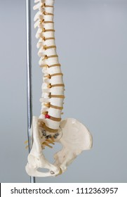 Artificial human spine model in medical office