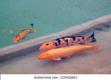 An artificial lake or pond with clear water and colorful orange and red koi fishes swimming on the surface, looking outside the water and watching out for some food, Aspire Zone lake in Doha, Qatar