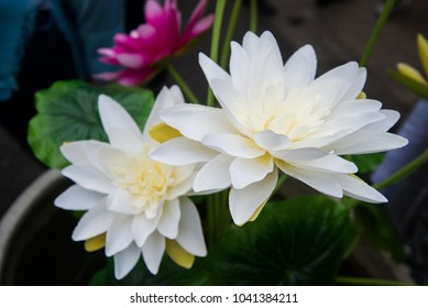 Artificial lotus, white and yellow, looking like a natural.