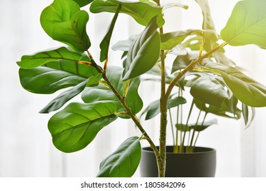 Artificial plant, Closed up of Fiddle leaf fig tree and monstera planted in black pot, Indoor tropical houseplant for home and living room interior.