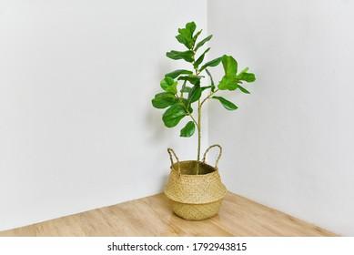 Künstliche Pflanze, Feigenbaum aus Fiddle-Blättern an der Zimmerecke, Tropische Hauspflanze im Innern und Wohnzimmer.