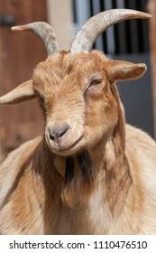 Artiodactyl (Domestic Goats) in Moscow Zoo