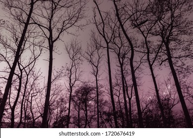 Artistic background with low angle view of tall trees with trunks in mystery and gloomy atmosphere, unwelcoming place