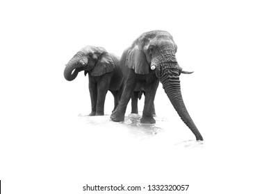 Artistic, black and white, close up photo of two African Bush Elephants, Loxodonta africana, low angle photo of drinking elephants , isolated on white background.