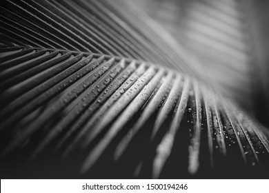 Artistic black and white concept of palm leaves with rain drops and soft sunset sunlight, bright dramatic nature with copy space. Black and white palm leaves