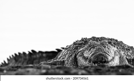 Artistic black and white image of crocodile on edge of river