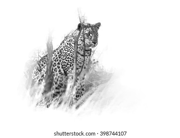 Artistic, black and white photo of  African Leopard, Panthera pardus, isolated on white background with a touch of environment. Hwange national park, Zimbabwe.