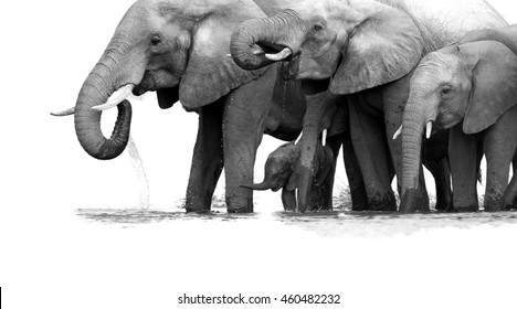 Artistic, black and white photo of African Bush Elephants, Loxodonta africana, herd from adults to newborn calf, drinking at waterhole, partly isolated on white, low angle photo. Kruger, South Africa.