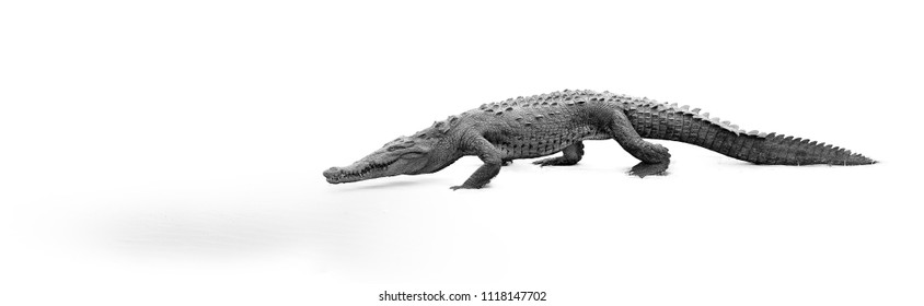 Artistic, black and white photo of American Crocodile, Crocodylus acutus, walking on the sandy beach. Crocodile, isolated on white background. Tarcoles river, Costa Rica.