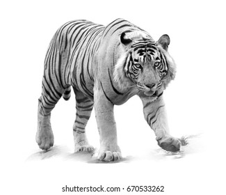 Artistic, black and white photo of bengal tiger, Panthera tigris, male, partly isolated on white background. Tiger from front view, staring directly at camera. Indian wildlife, Ranthambore, India.