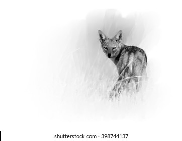 Artistic, black and white  photo of Black-backed Jackal, Canis mesomelas in motion in the grass of savanna looking directly at camera, isolated on white background with a touch of environment. Hwange.