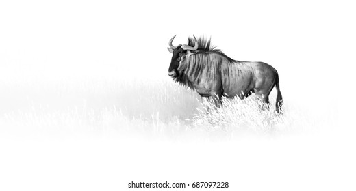 Artistic, black and white photo of Blue wildebeest, Connochaetes taurinus, large antelope walking in dry grass  in Kalahari desert.  Wildlife photography in Kgalagadi. Animal fine art.