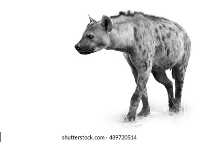 Artistic, black and white photo of curious Spotted hyena, Crocuta crocuta with upright mane, isolated on white background with a touch of environment. Kruger, South Africa.