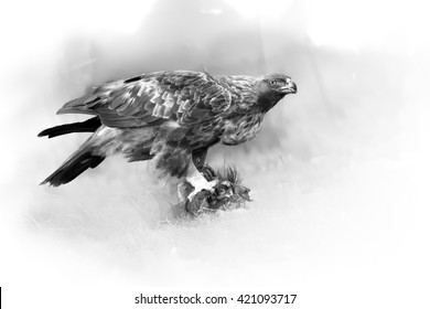 Artistic, black and white photo Golden Eagle, Aquila chrysaetos, feeding on a prey  in Pyrenees  isolated on white background with a touch of environment. Wildlife, ground level photo, Spain, Europe.