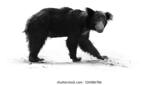 Artistic, black and white photo of sloth bear, Melursus ursinus, isolated on white background with touch of environment, staring at camera. Wilpattu national park, Sri Lanka. Wild animal.