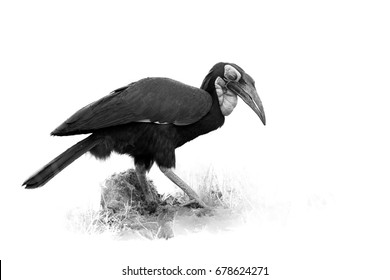 Artistic, black and white photo of  Southern ground hornbill, Bucorvus leadbeateri.  Large african bird, isolated on white background with touch of environment. Vulnerable species,  South Africa.