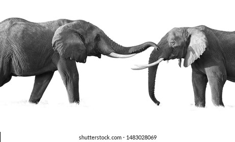 Artistic , black and white photo of two huge african elephants,  touching their trunks to each other.  Isolated on white background, playing elephants, Kenya wildlife, Amboseli safari.