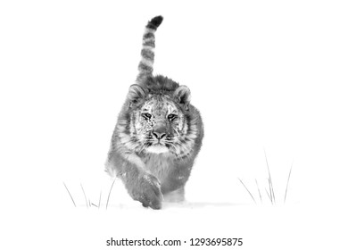 Artistic black and white Siberian tiger, Panthera tigris altaica, young male running directly at camera in deep snow. Attacking predator in action. Taiga environment, snowy, freezing cold, winter.