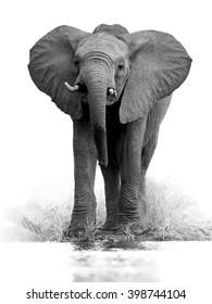 Umělecká, černobílá vertikální fotografie afrického slona Bush, Loxodonta africana, velký tusker z čelního pohledu pitné vody, izolované na bílém pozadí s nádechem prostředí. Kruger