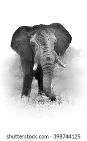 Artistic, black and white vertical photo of African bush elephant, Loxodonta africana, big tusker from front view, isolated on white background with a touch of environment. Kruger national park, SA.