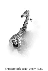 Artistic, black and white vertical photo of  Masai Giraffe, Giraffa camelopardalis tippelskirchi with bird flying from its neck,  isolated on white background with a touch of environment. Tanzania.
