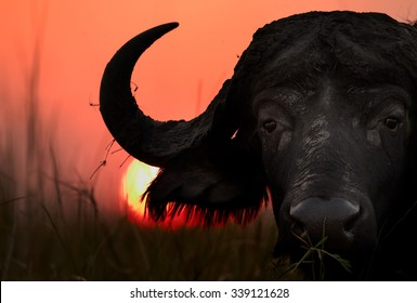 Artistic, close-up portrait of an African buffalo, Syncerus caffer,  staring directly at camera against setting sun and orange sky in the background. Silhouette of dangerous animal in colorful light.