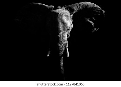 artistic closeup portrait of african elephant emerging from shadow.
