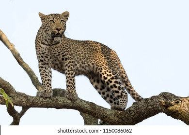 Artistic conversion of a leopard in a big tree with thick branches