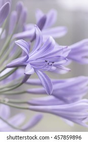artistic fine art african lily of the nile agapanthus flower background