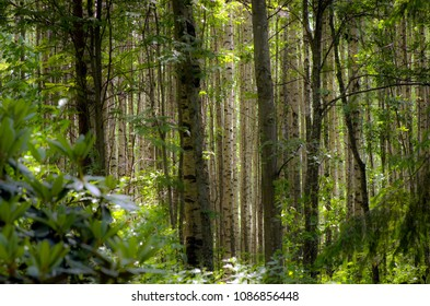 artistic image of birch forest