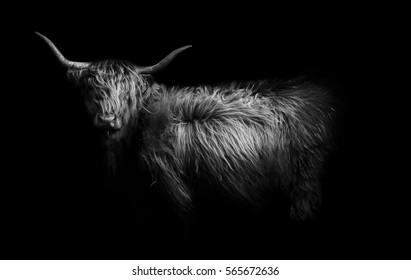 Artistic image of a Highland Cow